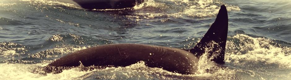 Excursión de avistamiento de orcas en Tarifa