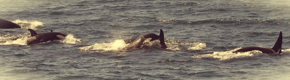 Orcas en aguas de Tarifa