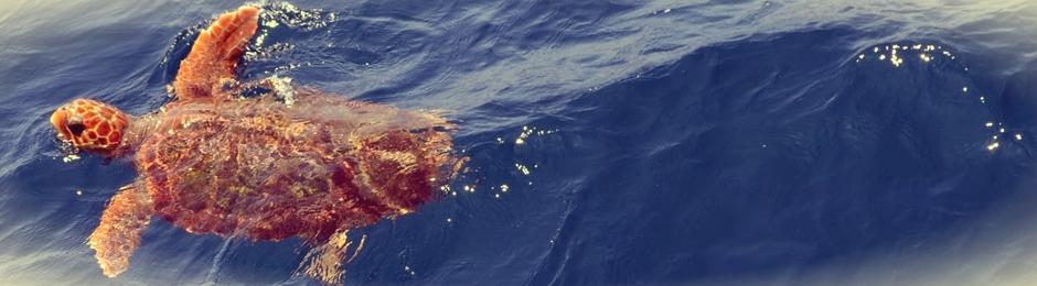 Tortuga boba (Caretta caretta) en aguas del estrecho de Gibraltar