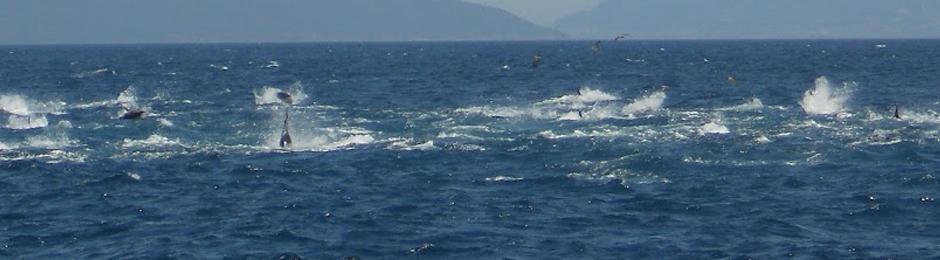 Atunes en aguas de la costa de Tarifa