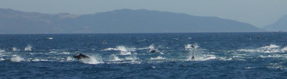 Atunes en el estrecho de Gibraltar